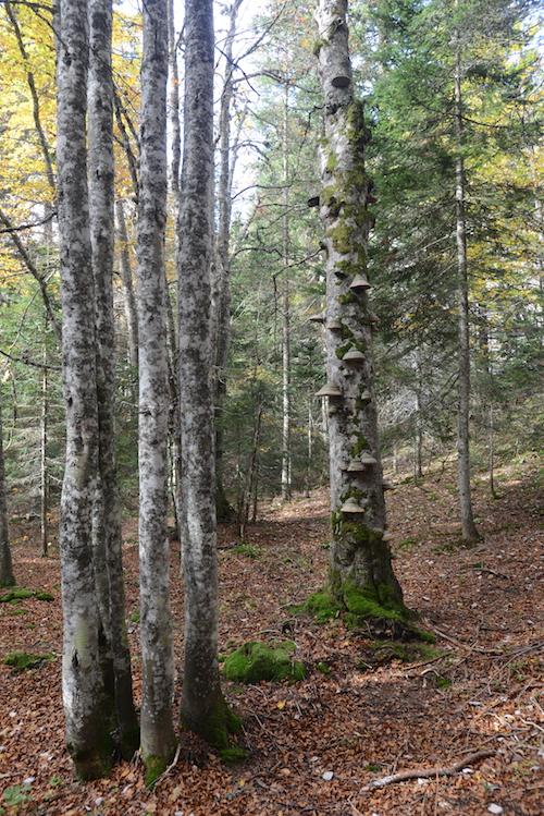 la Transvercors au cœur de la réserve biologique intégrale gérée par l'ONF