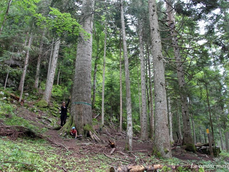 Le Sapin Bellier de la forêt de La Loubière dans le Vercors, Isère sur la TRANSVERCORS